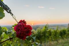 Rosa hermosa del rojo en la puesta del sol imagen de archivo libre de regalías