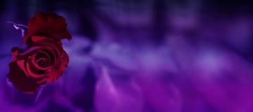 Rosa hermosa del rojo sobre fondo borroso púrpura Florece el backg fotos de archivo