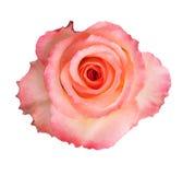 Rosa hermosa del rosa Foto de archivo libre de regalías