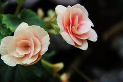 Rosa hermosa del rosa de la flora de las flores Foto de archivo