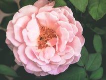 Rosa hermosa del rosa en luz suave Imagen de archivo