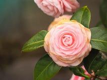 Rosa hermosa del rosa en luz suave Imagen de archivo libre de regalías