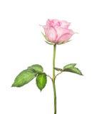 Rosa hermosa del rosa en tallo largo con las hojas, aisladas en blanco Foto de archivo