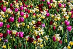 Rosa hermoso, tulipanes blancos, rojos, amarillos en tiempo soleado en Holanda fotografía de archivo libre de regalías