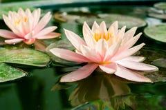 Rosa hermoso waterlily o flor de loto en la charca Fotografía de archivo libre de regalías