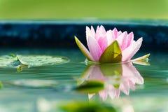 Rosa hermoso waterlily o flor de loto en la charca Imagen de archivo libre de regalías