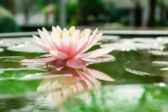 Rosa hermoso waterlily o flor de loto en la charca Fotos de archivo libres de regalías