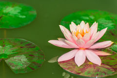 Rosa hermoso waterlily o flor de loto en la charca Foto de archivo