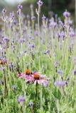 Rosa hermoso y fondo púrpura de campo de flor foto de archivo