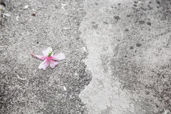 Rosa hibicus Blume Stockfoto