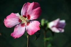 Rosa Hibiscus lizenzfreies stockfoto