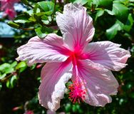 Rosa Hibiscus Stockbilder