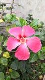 Rosa Hibiscus Stockfoto