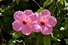 Rosa Hibiscus Stockfotos