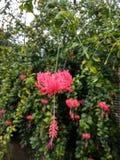 Rosa Hibiscus Stockfotografie