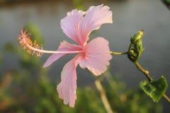 Rosa Hibiscus Blumen im Garten Stockbilder
