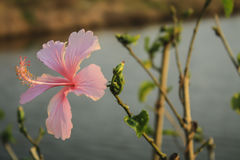 Rosa Hibiscus Blumen im Garten Stockbild