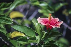 Rosa Hibiscus Blumen im Garten Lizenzfreie Stockfotografie