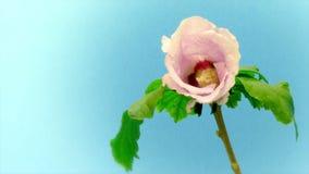 Rosa Hibiscus-Blumenc$zeit-versehen stock footage
