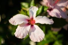 Rosa Hibiscus, Makroschuß, Italien lizenzfreies stockbild