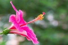 Rosa Hibiscusblume lizenzfreies stockbild