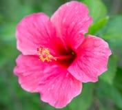 Rosa Hibiscusblume lizenzfreie stockbilder