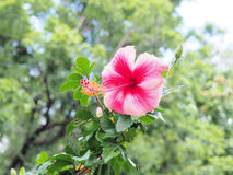 Rosa Hibiscusblume, die im Garten blüht Rosa Blume im b Stockfoto