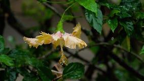 Rosa Hibiscusblume unter Regen stock video