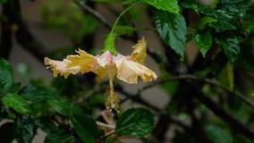 Rosa Hibiscusblume unter Regen stock footage