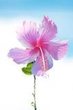 Rosa hibiskus Arkivbilder