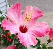 Rosa hibiskus Royaltyfria Bilder
