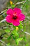 Rosa hibiskus Arkivbild