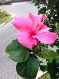 Rosa hibiskus Royaltyfri Bild
