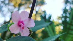 Rosa hibiskus Royaltyfri Foto