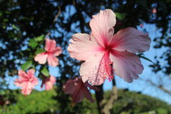Rosa hibiskus Bush Royaltyfria Bilder