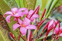 Rosa hibiskus i Monsoons Royaltyfri Foto