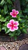 Rosa hibiskus i trädgård Arkivbilder