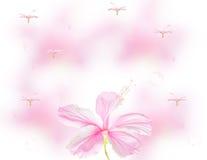 Rosa hibiskus med bokeh på vitbakgrund Royaltyfri Fotografi