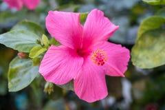 Rosa hibiskus med stigma Arkivfoto