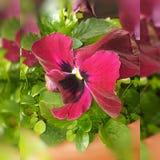 Rosa hibiskus och regn Fotografering för Bildbyråer