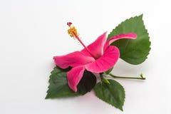 Rosa hibiskus på vit bakgrund Royaltyfria Bilder