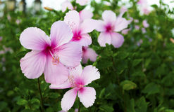 Rosa hibiskusblomma Royaltyfri Bild