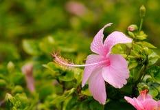 Rosa hibiskusblomma Arkivfoton