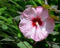 Rosa hibiskusblomma royaltyfria foton
