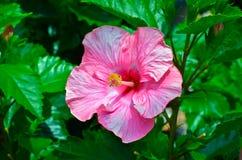 Rosa hibiskusblomma Fotografering för Bildbyråer