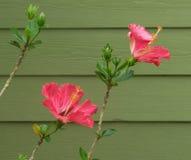 Rosa hibiskusblomma i våren royaltyfria bilder