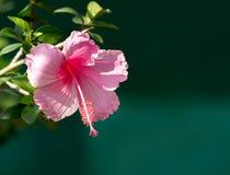 Rosa hibiskusblomma på träd Arkivfoto