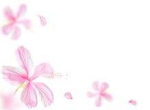 Rosa hibiskusblomma som isoleras på vitbakgrund Arkivfoton