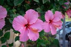 Rosa hibiskusblommor fotografering för bildbyråer