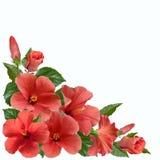 Rosa hibiskusblommor och knoppar arkivfoton